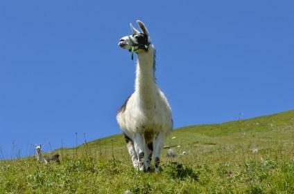 Alpine alpacas