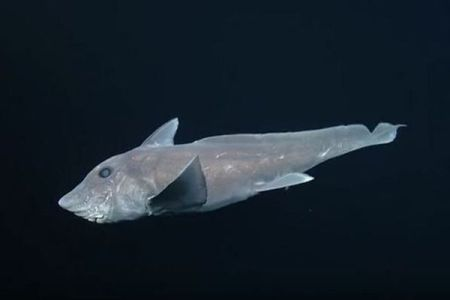 「ゴーストシャーク」と呼ばれる深海に住むサメの貴重な映像が撮影される