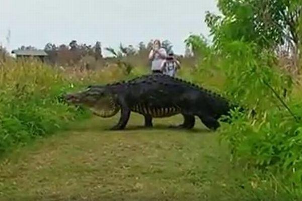 「まるで恐竜みたい」フロリダの自然保護区で巨大なワニが旅行客の前に出現