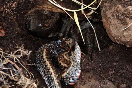タランチュラがヘビを捕食、野生の環境下で珍しい場面が目撃され話題に