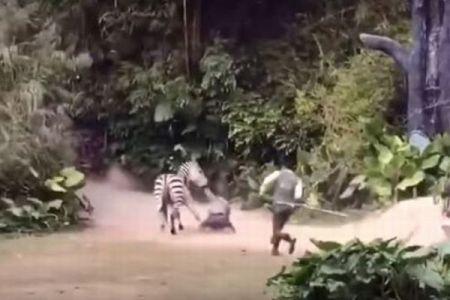 人形のように引きずられる飼育員、中国の動物園で目撃されたシマウマが凶暴すぎる