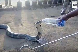「み、水をくれませんか?」干ばつで苦しむコブラが人から水を与えられ喉の渇きをいやす