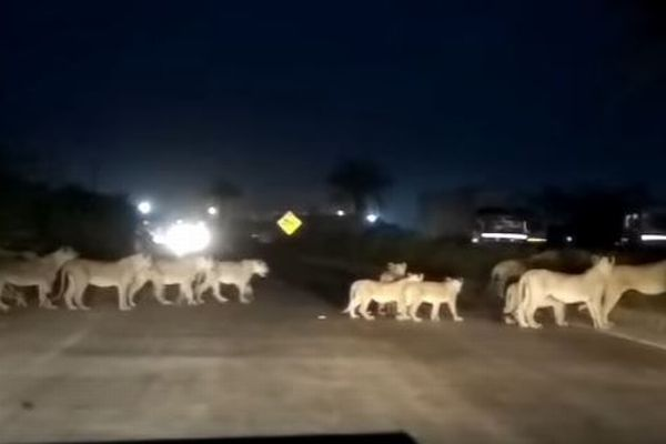 インドの道路に突然ライオンが!群れが道を横切る姿が目撃される