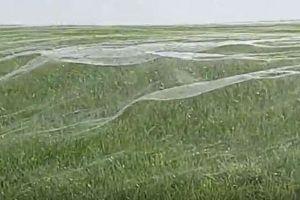 ある日突然、野原が一面クモの巣に!NZで目撃された現象が不思議