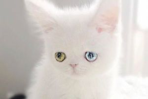 信じられないほどかわいい!青と緑の瞳を輝かせる猫がネットで大人気