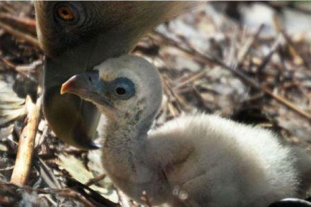 動物園で2羽のゲイのハゲワシが協力し、捨てられた卵を孵化させることに成功