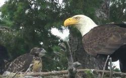 研究者もびっくり!豪で鷲が鷹のヒナを育てているのが確認される