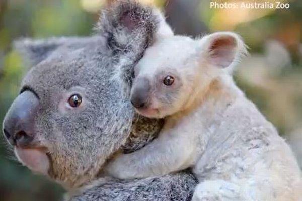 豪の動物園で誕生した「白いコアラ」の赤ちゃん、かわいすぎると話題に【動画】