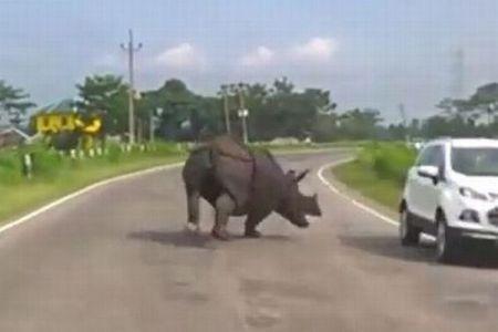 インドの道路に突然サイが出現、多くの車が突進から逃れようとUターン