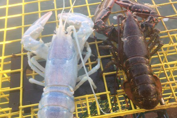 体の内部も透けている!白く透明な珍しいロブスターが米の沿岸で捕獲される