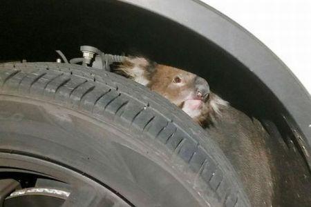 野生のコアラがタイヤの裏側にしがみついたまま16キロも移動、無事救助される