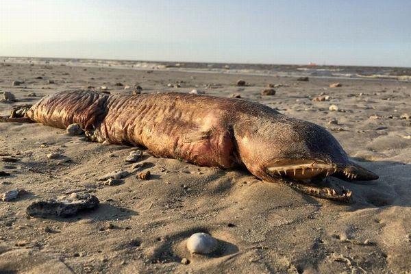 目がなく歯は牙のよう…ハリケーンが通過したビーチで異様な生物を女性が発見