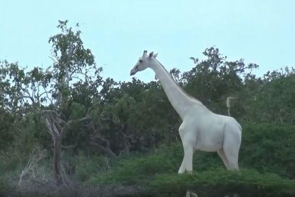 世界初、アフリカで白いキリンの親子を動画で撮影することに成功