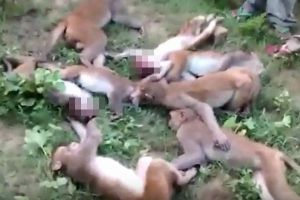 不可解なサルの大量死、インドで12匹が折り重なり倒れているのが発見される