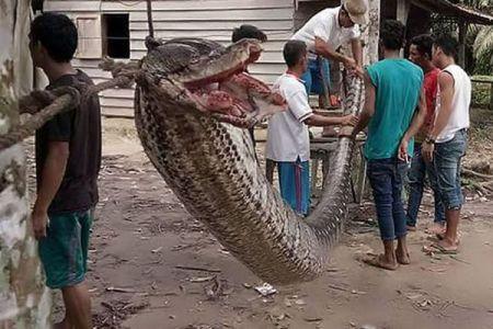 インドネシアで男性が7メートルもある巨大なヘビと格闘、傷を負うも退治する