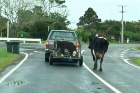 子牛と引き離される母牛、いつまでも追いかけていく姿が切なすぎる