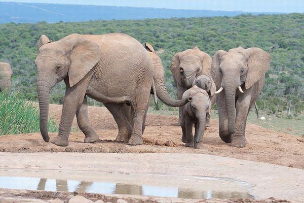 狩猟ゾウの記念品持ち込み規制撤廃、この動きを進めた人々の主張とは?