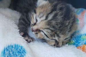 2つの顔を持って生まれた子猫、安楽死をまぬがれ元気に成長中