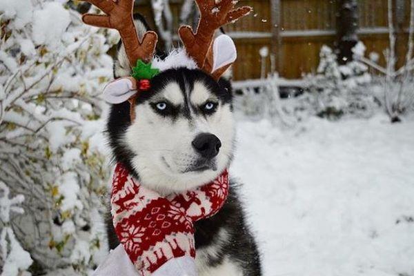 クリスマスの衣装に怖い表情…実はとっても優しいハスキー犬が話題に