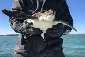 米南部を襲う大寒波の影響でウミガメが危機、海面に浮かぶ100匹を保護