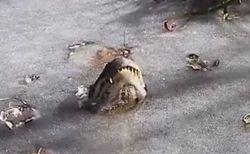 凍った池の表面から鼻を突き出して生き延びる、ワニの生命力がすごい