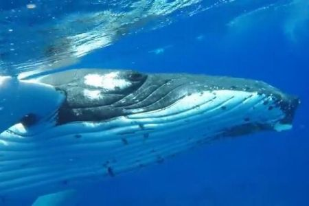クジラが人間を救った?サメを追い払い、胸ビレで守る貴重な姿が撮影される