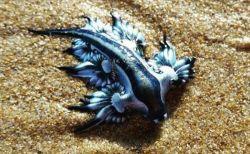 美しいけれど猛毒を持つ不思議な生物が、豪の浜に数百匹も打ち上げられる