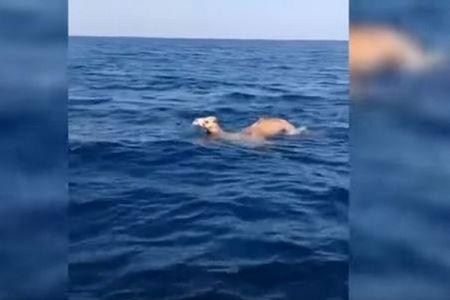 ラクダが海中水泳!?貴重な映像が中東オマーンで撮影される