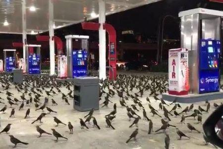 専門家もびっくり!数百羽の鳥がガソリンスタンドに群がる姿が目撃される