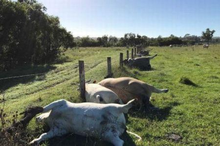 豪で6頭の牛が不可解な死、牧場で1列に並び倒れている姿が発見される