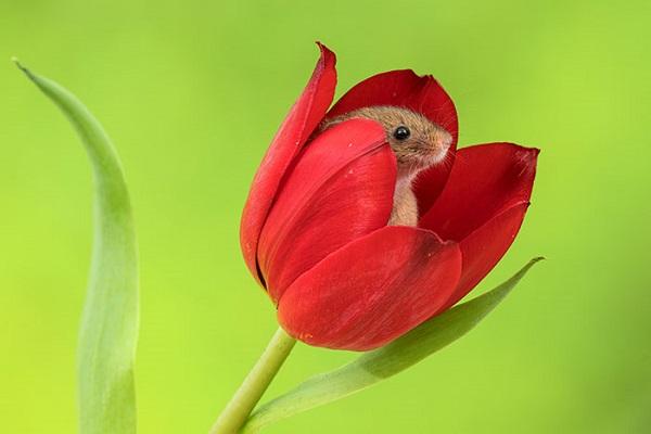 チューリップの花と戯れるねずみの写真が、あまりにかわいいと話題に