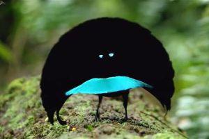 まるでアニメのキャラクター!三日月型に羽を広げ求愛する鳥がユニーク
