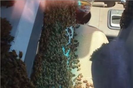 気づいたらハチが車内にいっぱい!それでも64キロを運転した男性が話題に