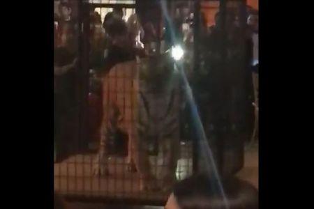 檻の中で怯えるトラ…卒業パーティーで動物を見世物に使った高校に非難殺到