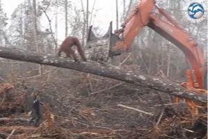 森を守ろうとする野生のオランウータン、伐採する機械に挑む姿が撮影される