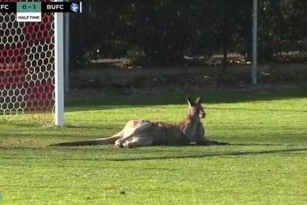 サッカーの試合中にカンガルーが乱入、ゴール前でくつろぐ姿がユニーク