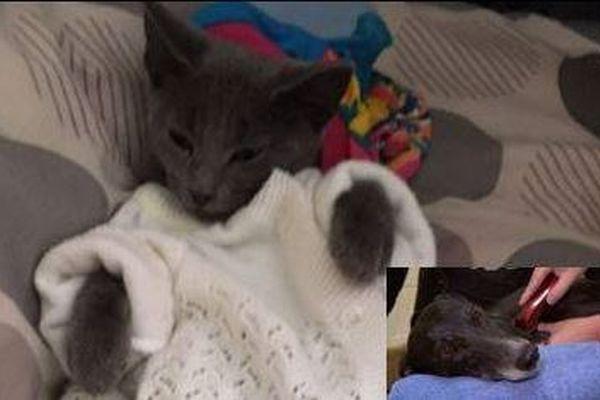オーストラリアで生命の危機に陥ったネコ、ワンコの血を輸血して救われる