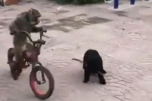 まるで人間と同じ!サルが巧みに自転車を乗りこなす動画が話題に