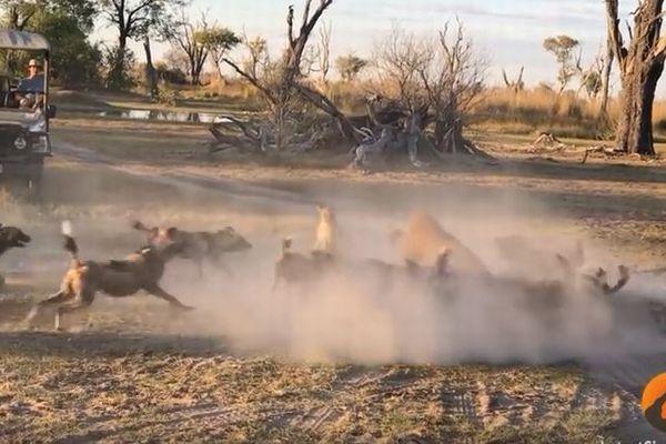 飢えた野生の犬たちに囲まれたライオンの親子、激しく戦う母親の姿がすごい