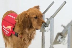 大腸がん患者を臭いでかぎ分ける能力を持つ犬たち、英国の病院で試験的に導入される
