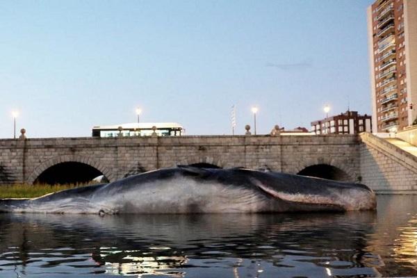 マドリード市内の川にクジラが打ち上げられる?その意外な理由とは