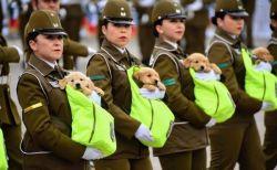 南米のチリで行なわれた軍事パレード、参加した警察犬の子犬たちがかわいすぎる
