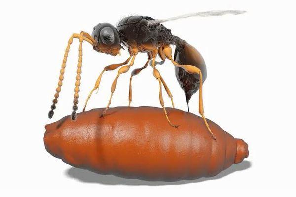 古代のハチがハエの蛹に寄生し成長していた!化石から寄生の証拠が明らかに