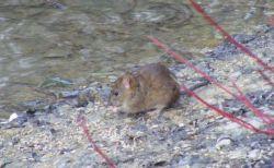 世界で初めて、ネズミから人間にE型肝炎が感染する症例を確認