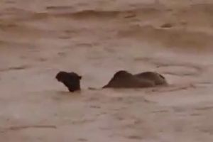 中東のイエメンにサイクロンが直撃、洪水が発生しラクダも押し流されていく