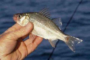 キャッチ・アンド・リリースしても、釣り針の傷が魚に影響を与えている:米研究