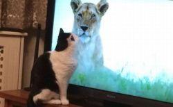 ライオンのTV番組にネコが夢中?英で多くの飼い主が写真を投稿