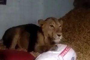 インドで農家の家に野生のライオンが入り込む、その場にいた家族もパニックに