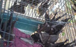 【閲覧注意】ある日玄関を開けたら…豪の民家で5000羽のコウモリの死骸を発見