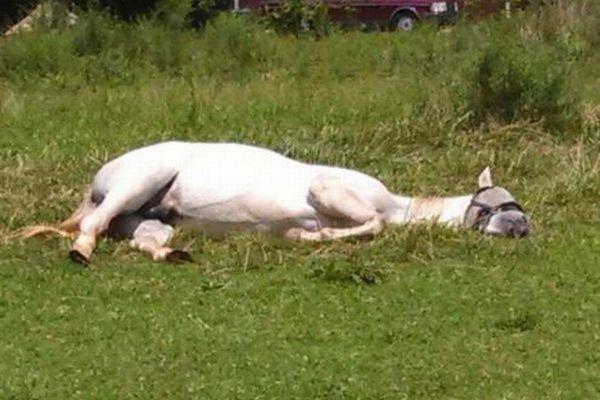 小屋に入りたがらず、地面に横たわって眠る馬、珍しすぎてネットで話題に